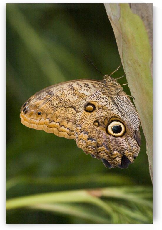Owl Butterfly (Caligo Idomeneus) Resting On Trunk, Niagara Butterfly Conservatory, Niagara Falls, Ontario, Canada. by PacificStock