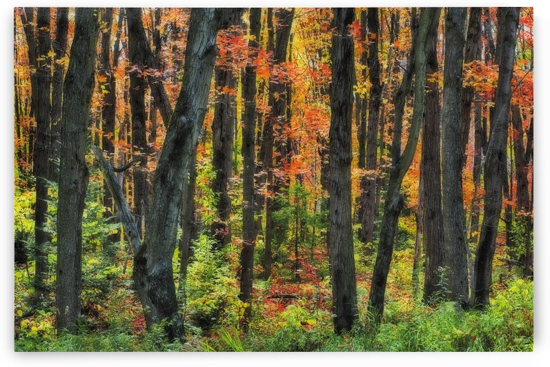 Autumn Sugar Maple, Yellow Birch And Balsam Firtrees. Algonquin Provincial Park, Ontario. Canada. by PacificStock