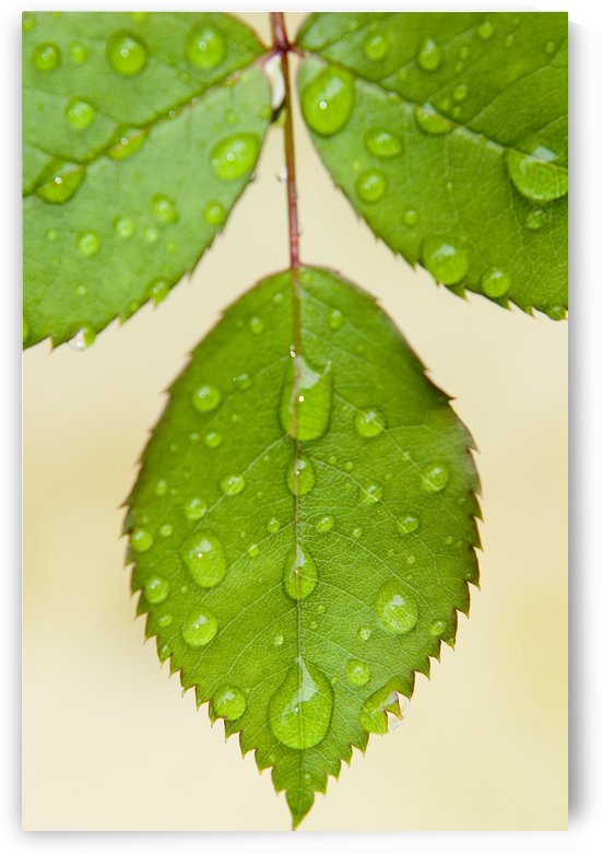 Wet Leaves, Winnipeg, Canada by PacificStock