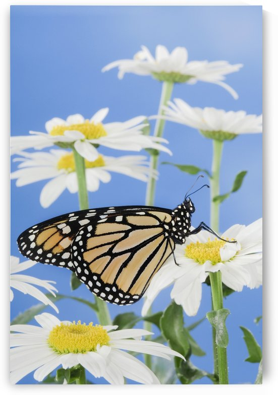 Monarch Butterfly In Daisies. by PacificStock