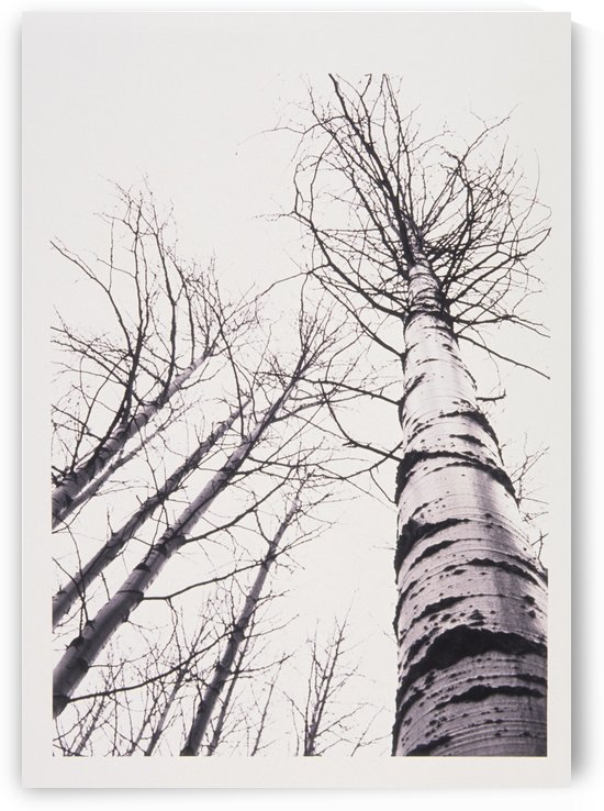 Stand Of Poplar Trees Next To The Highway 1, Banff National Park, Alberta, B.C. by PacificStock