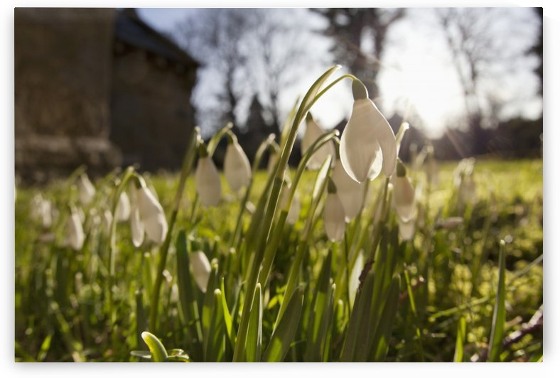 Snowdrop Flowers In The Sunlight; Northumberland, England by PacificStock