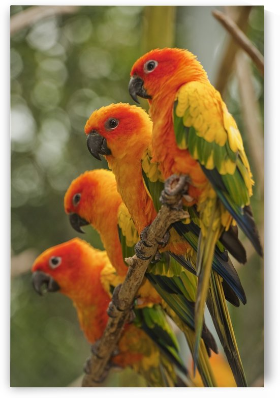 Orange Parakeets; Chiang Mai, Thailand by PacificStock