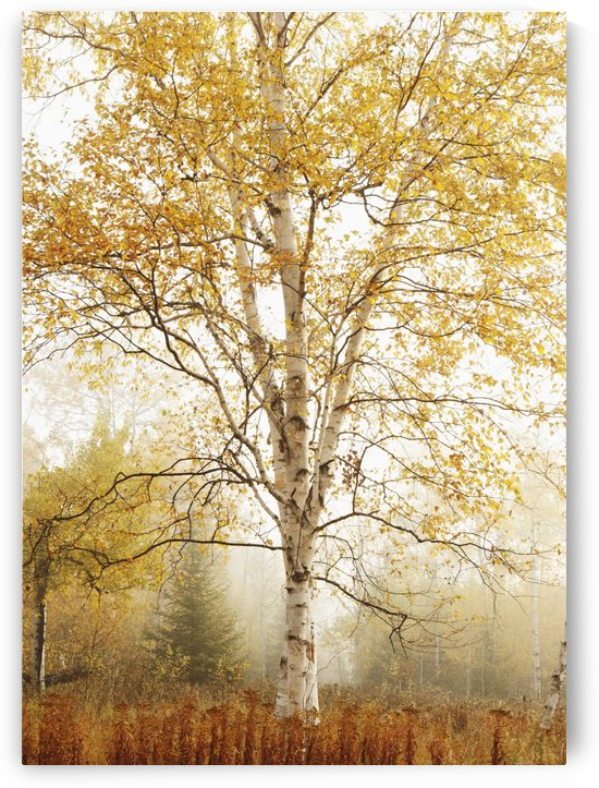 Birch Trees In Autumn; Thunder Bay, Ontario, Canada by PacificStock