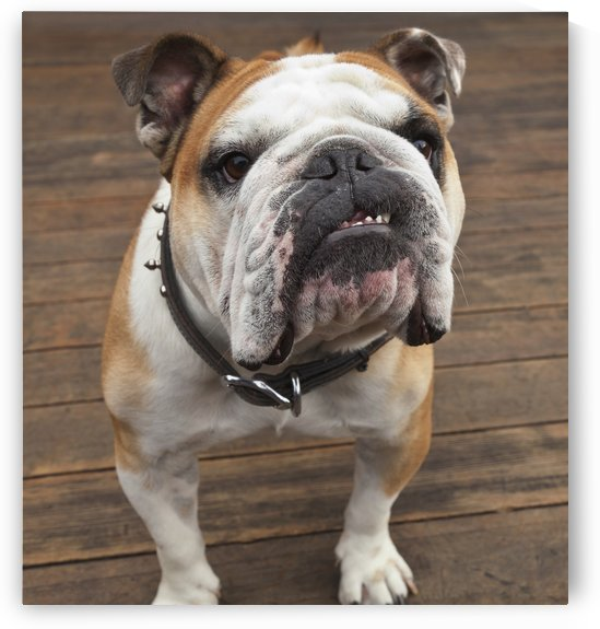 Purebred English Bulldog; Pacifica, California, United States of America by PacificStock