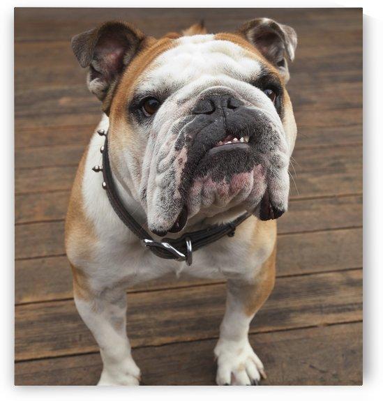 Purebred English Bulldog; Pacifica, California, United States of America by PacificStock