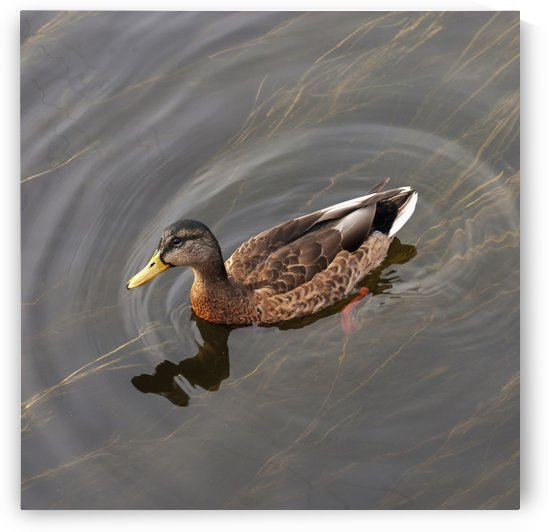Duck Swimming In Clear Water; St. Petersburg, Russia by PacificStock