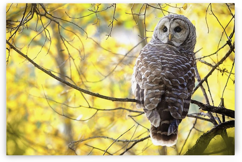 Barred Owl (Strix Varia); Pigeon Lake, Alberta, Canada by PacificStock