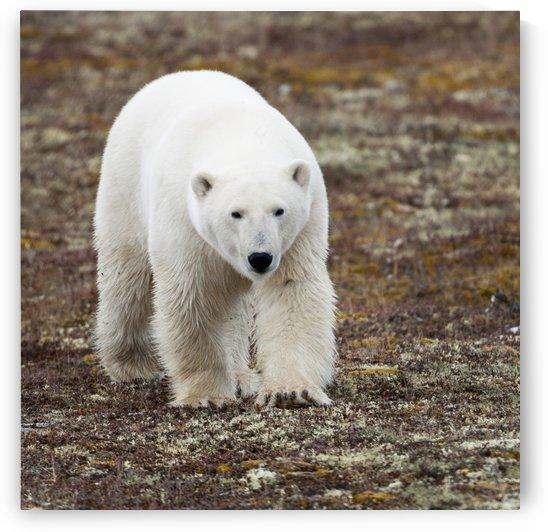 A Polar Bear (Ursus Maritimus) Walking On The Tundra; Churchill, Manitoba, Canada by PacificStock