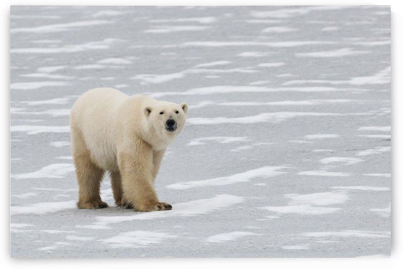 A Polar Bear (Ursus Maritimus) Walking On The Frozen Hudson Bay; Churchill, Manitoba, Canada by PacificStock
