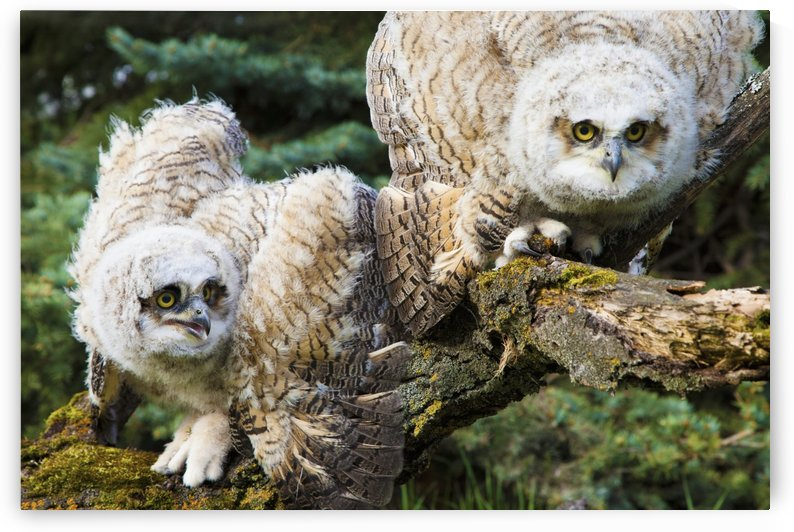 Baby Great Horned Owls (Bubo Virginianus); Leduc County, Alberta, Canada by PacificStock