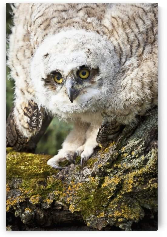 Baby Great Horned Owl (Bubo Virginianus); Leduc County, Alberta, Canada by PacificStock