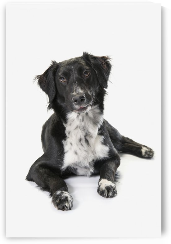 Border Collie On A White Background; St. Albert, Alberta, Canada by PacificStock