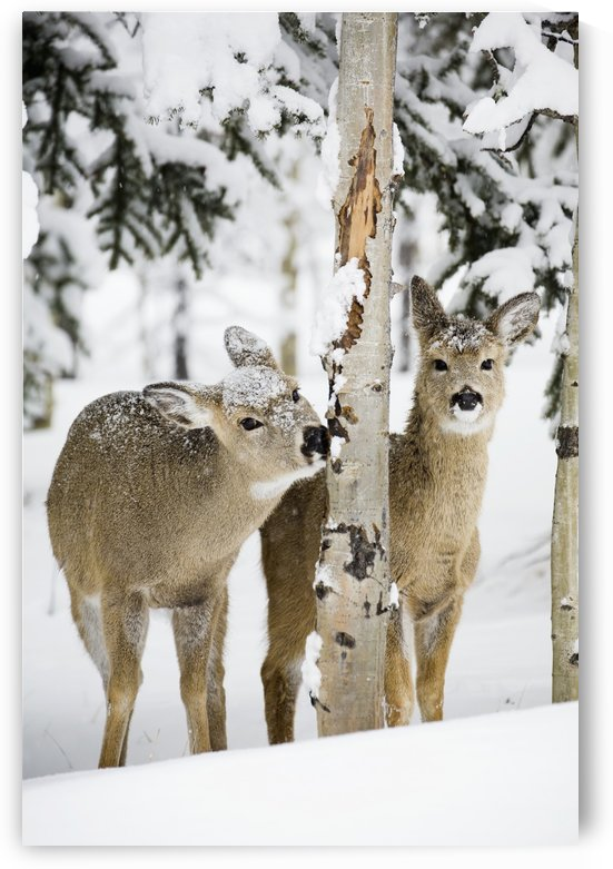 Two Young Deer In A Snow Covered Forest Chewing On Tree Bark; Kananaskis Country, Alberta, Canada by PacificStock