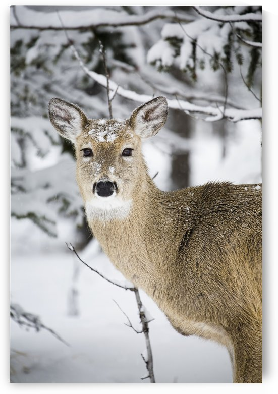 Close Up Of A Young Deer In A Snow Covered Forest; Kananaskis Country, Alberta, Canada by PacificStock