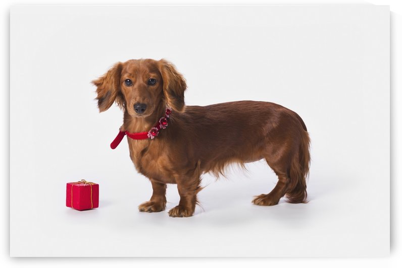 A Longhair Red Dachshund With A Small Red Box At Christmas; St. Alberta Alberta, Canada by PacificStock