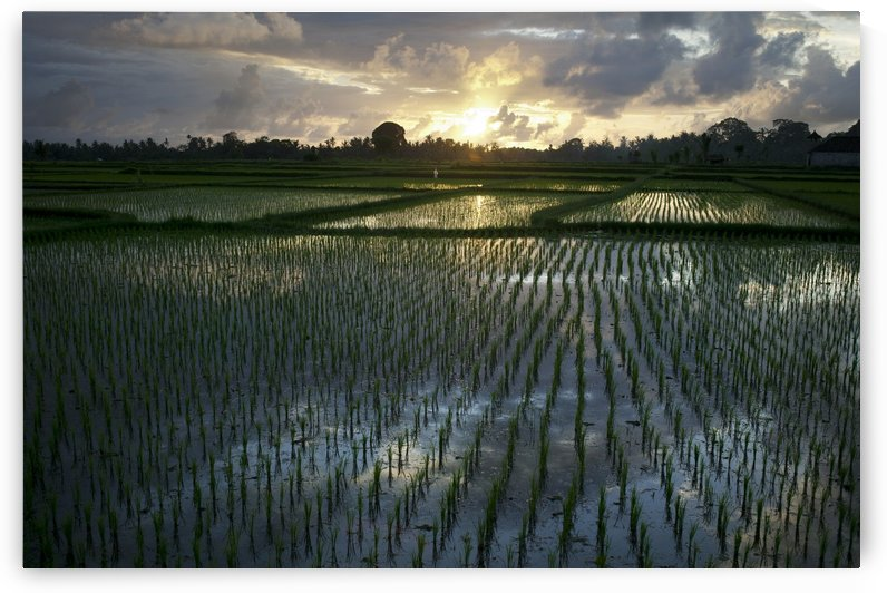 Rice Fields Near Ubud; Bali, Indonesia by PacificStock
