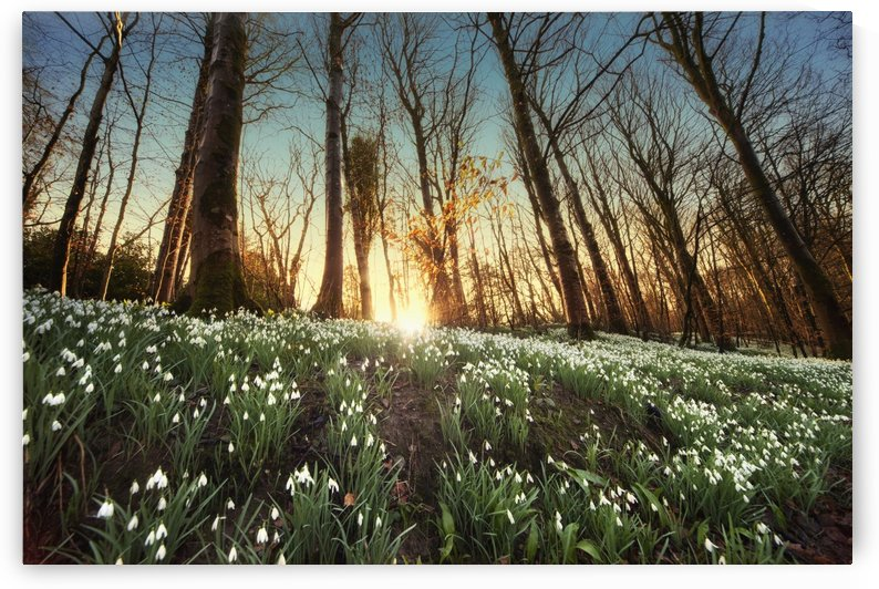 An Abundance Of Snowdrops (Galanthus) On The Forest Floor At Sunset; Gatehouse Of Fleet, Dumfries, Scotland by PacificStock