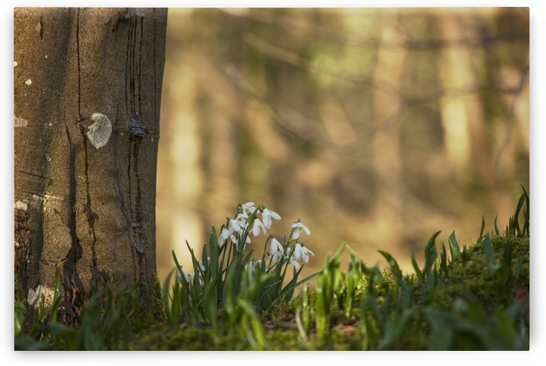 Snowdrops (Galanthus) Blossoming At The Base Of A Tree; Gatehouse Of Fleet, Dumfries, Scotland by PacificStock