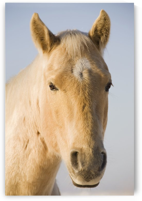 Cream Coloured Horse Head Looking Straight On With Blue Sky; Calgary, Alberta, Canada by PacificStock
