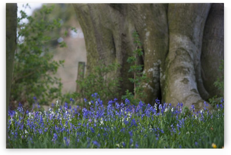 Blue flowers blossoming;Hirsel scottish borders scotland by PacificStock