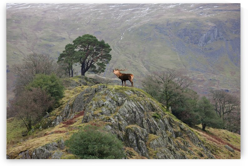 An elk standing on the top of a rock and calling;Cumbria england by PacificStock