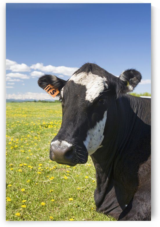 Close up of a cow's face in a field with blue sky and clouds;Alberta canada by PacificStock