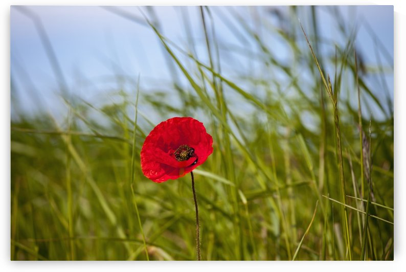 Red poppy in a grass field;Northumberland england by PacificStock