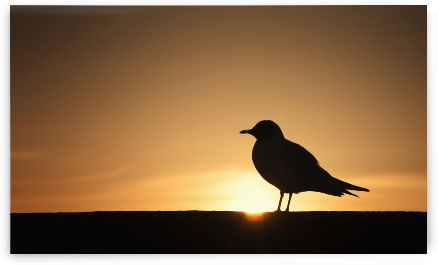 Silhouette of a bird sitting on a fence at sunset;Northumberland england by PacificStock