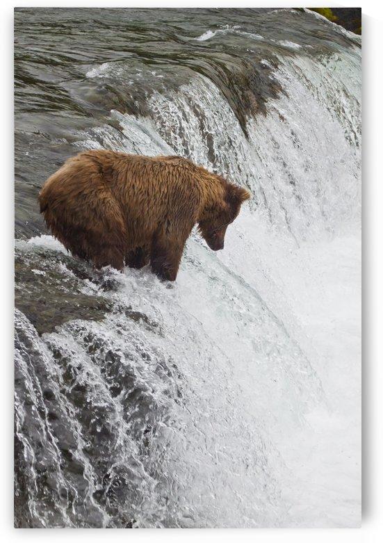 Brown Bear At Brooks Falls On Brooks River, Katmai National Park, Alaska by PacificStock