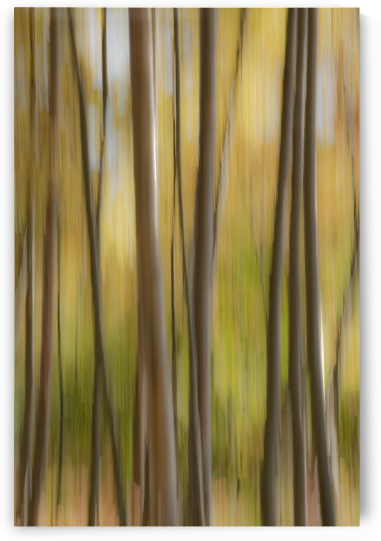 Abstract Of Birch Trees And Fall Colors, Alaska by PacificStock