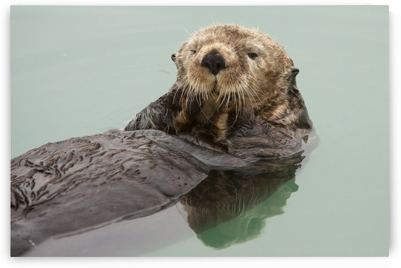 An Adult Sea Otter Floats In The Calm Waters Of The Valdez Small Boat Harbor, Southcentral Alaska, Summer by PacificStock