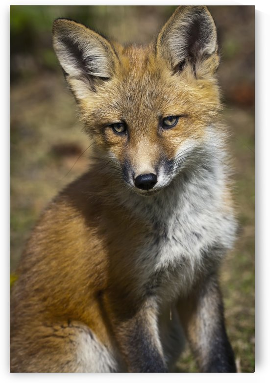 A Red Fox Kit Looks At Camera From Near Its Den On The Anchorage Hillside In Summer. Southcentral Alaska. by PacificStock