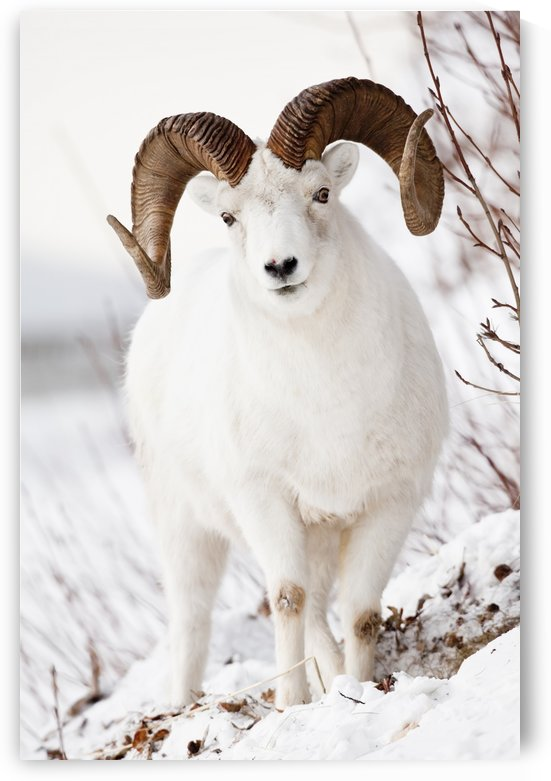 Front View Of A Full-Curl Dall Sheep Ram, Chugach Mountains, Southcentral Alaska, Winter by PacificStock