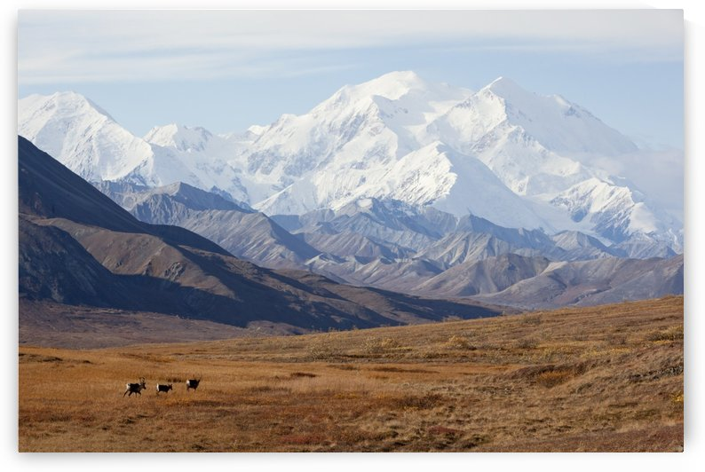 Three Caribou Run Thru The Tundra With Mt. Mckinley Looming In The Background, Denali National Park And Preserve, Interior Alaska, Autumn by PacificStock