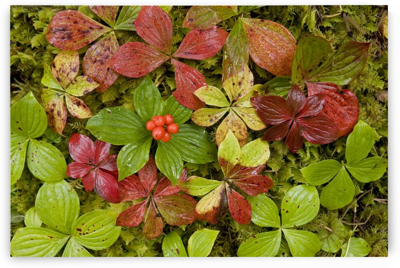 Dwarf Dogwood Growing From A Bed Of Dense Mosses, Transitions From The Greens Of Summer To The Reds Of Fall, Tongass National Forest, Alaska. by PacificStock