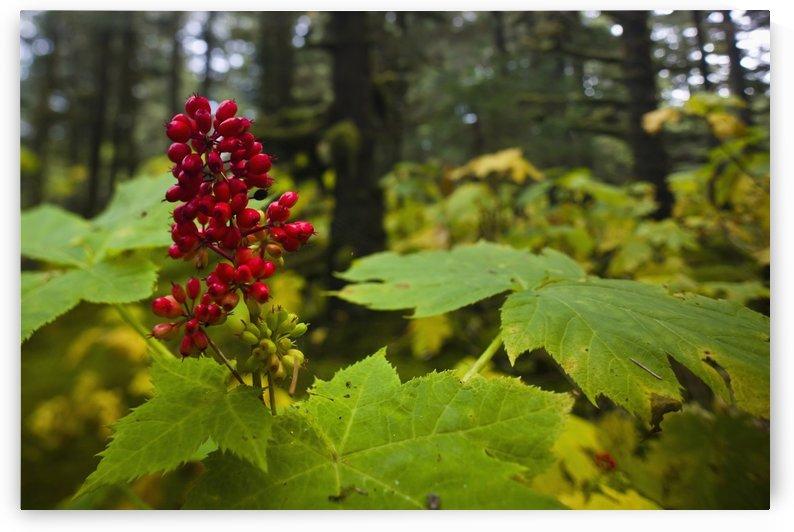 Devils Club Growing Under The Canopy Of Spruce Trees, Kodiak Island, Southwest Alaska, Fall by PacificStock