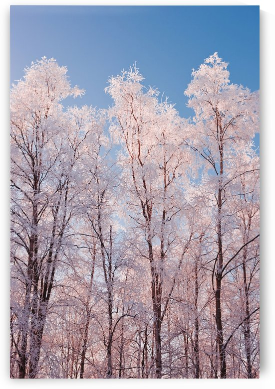 Hoarfrost Covered Birch Trees In Russian Jack Park, Anchorage, Alaska by PacificStock