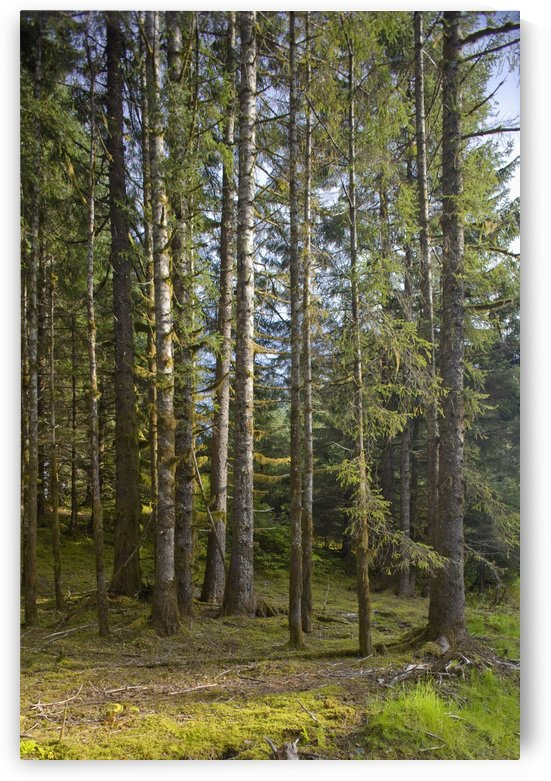 Spruce Tree Forest In Autumn, Kodiak Island, Southwest Alaska by PacificStock