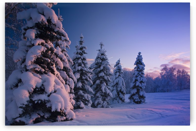 Snow Covered Spruce Trees At Sunset With Pink Alpenglow During Winter, Russian Jack Park, Anchorage, Southcentral Alaska, Usa. by PacificStock