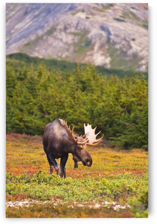 A Bull Moose In Rut Standing In A Wooded Area Near Powerline Pass In Chugach State Park, Anchorage, Southcentral Alaska, Autumn by PacificStock