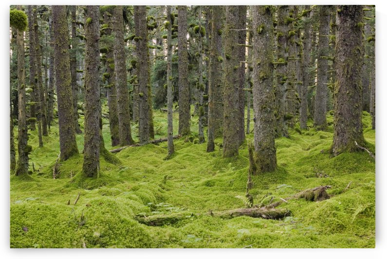 Spruce Forest & Moss Near Coast Kodiak Island Southwest Alaska by PacificStock