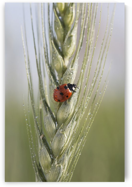 Close up of a ladybug (coccinellidae) on the head of green wheat with dew drops;Alberta canada by PacificStock