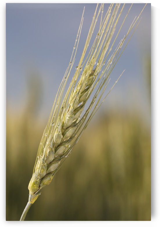 Close up of a green wheat head with dew drops and blue sky;Alberta canada by PacificStock
