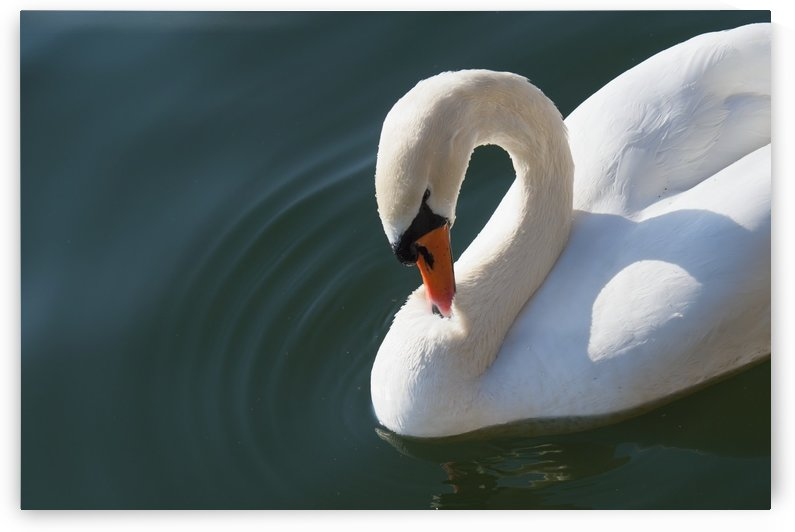 High angle view of a close up of a swan in water;Zurich switzerland by PacificStock