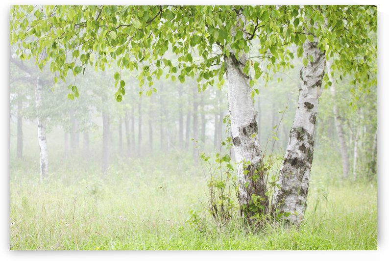 Birch trees in fog;Thunder bay ontario canada by PacificStock