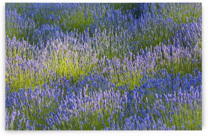 Rows of lavender plants in a field in the cowichan valley;Vancouver island british columbia canada by PacificStock