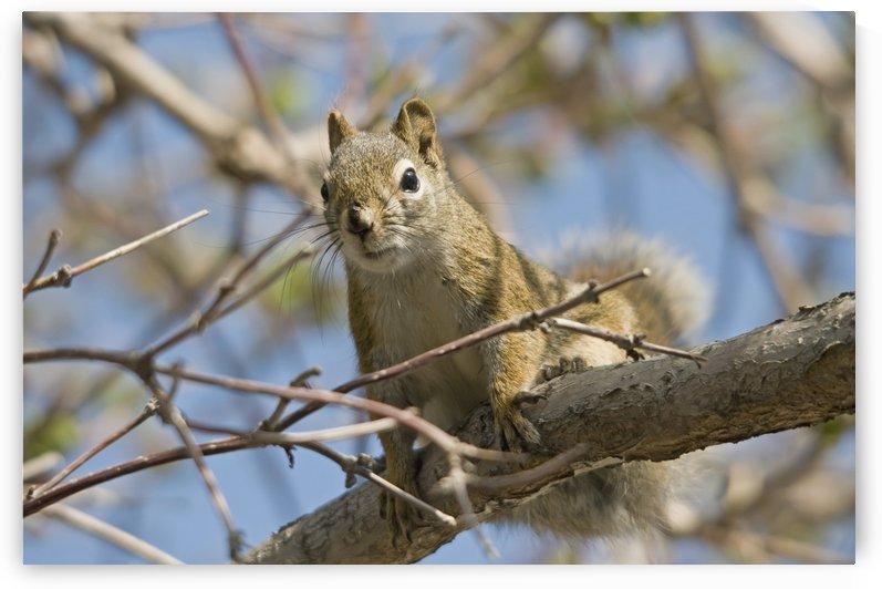 A squirrel in a tree;Edmonton alberta canada by PacificStock