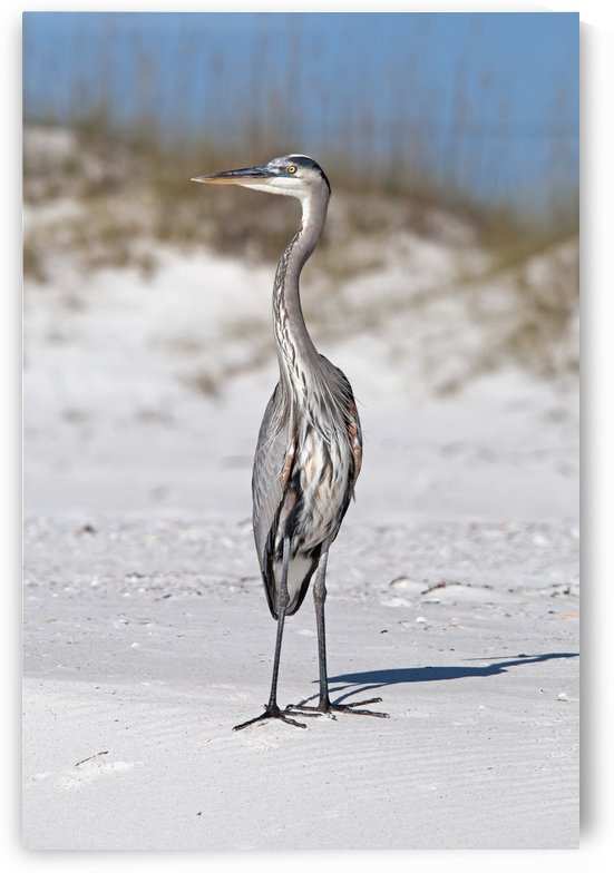 Blue heron on the sand;Gulf shores alabama united states of america by PacificStock