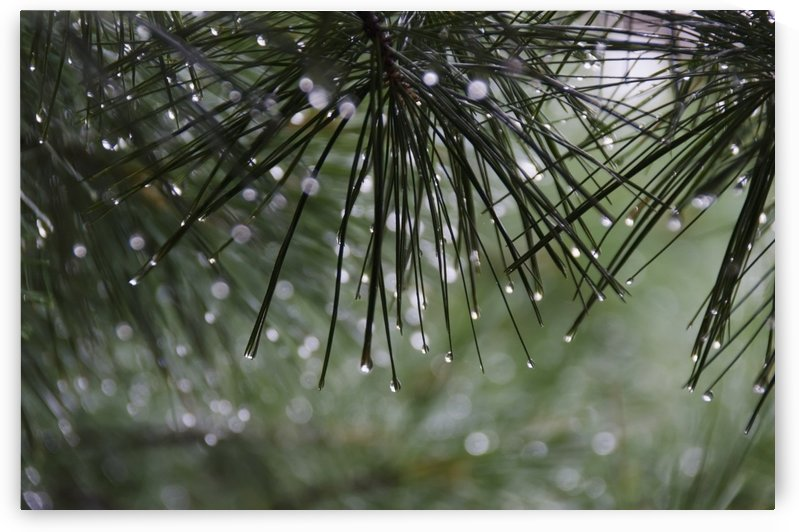 Dew drops on pine needles;Lake of the woods ontario canada by PacificStock